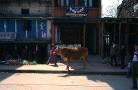 Vache New Boudha. Tirages numérotés